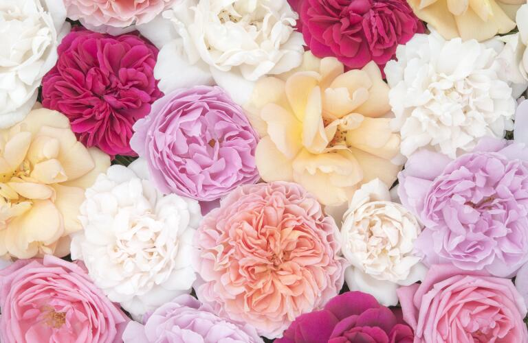 Beautiful June roses in soft pastel colours