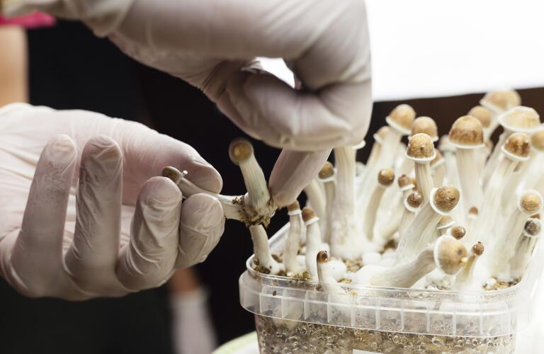 Psilocybin mushrooms growing in magic mushroom breads on an isolated plastic environment being collected by expert hands wearing white latex medical gloves; fungi hallucinogen drug production concept