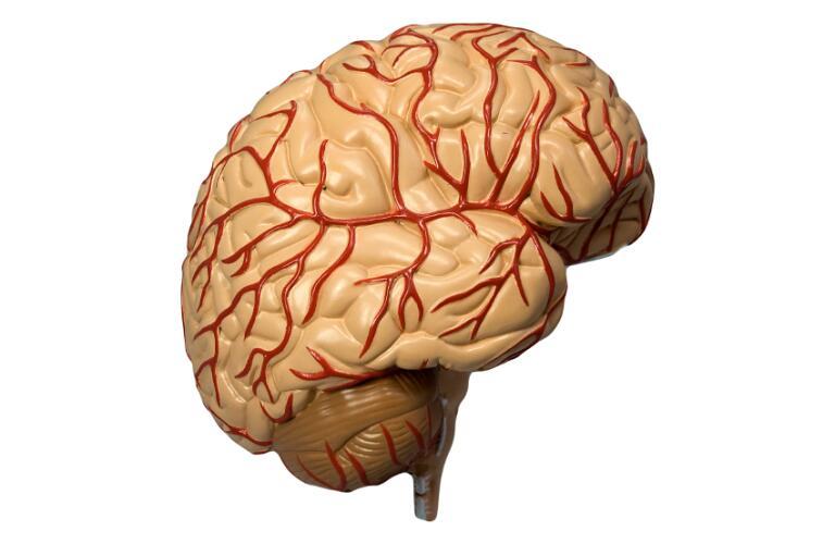 Model of Human Brain