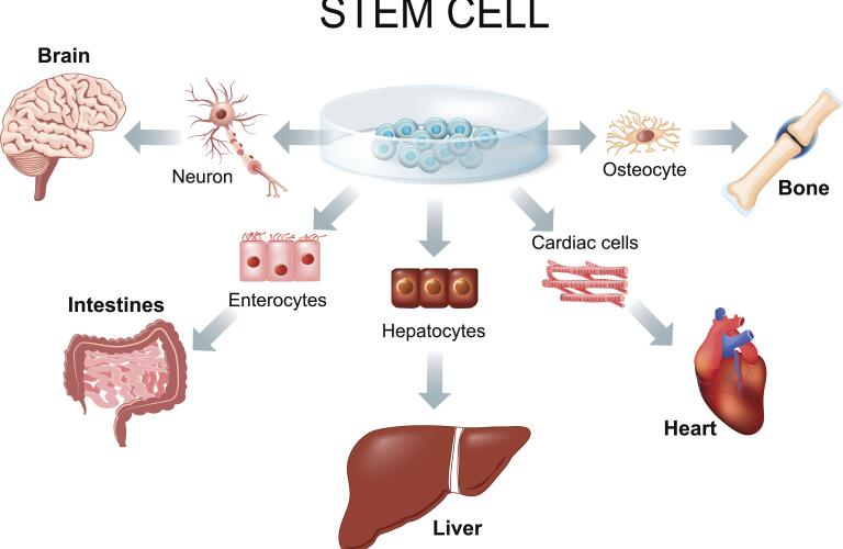 artwork showing stem cell changing into bone, heart, nerve cell